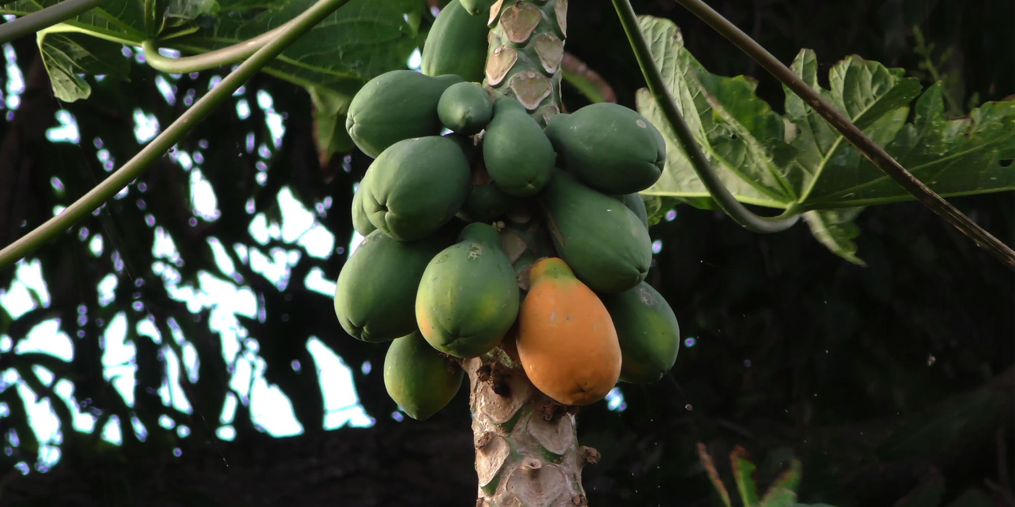 Best Maui Fruit by Maui Owner Condos